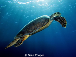Hawksbill by Sean Cooper 